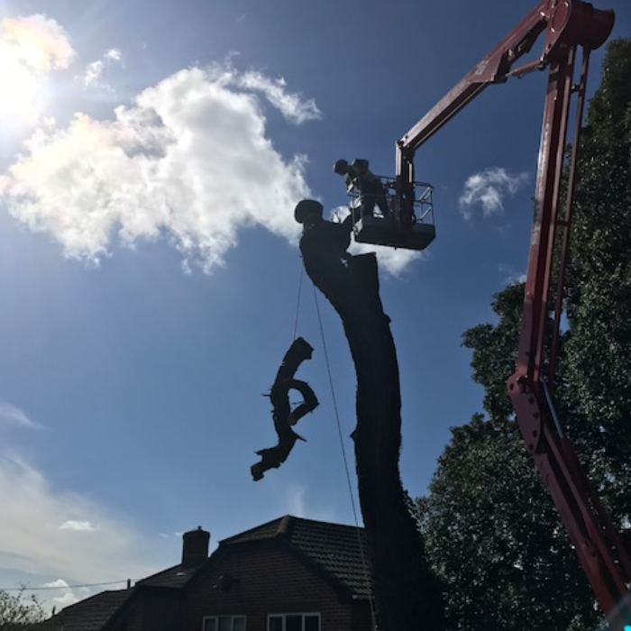 Using a crane to dismantle a tree on the Isle of Wight.