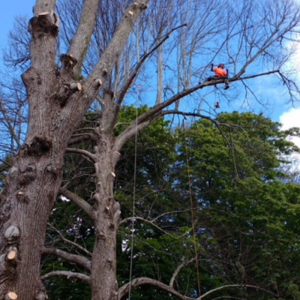 Tree crown reduction on the Isle of Wight.