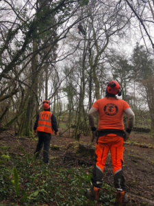 Barlow tree surgery team carrying out a tree thinning operation on the Isle of Wight